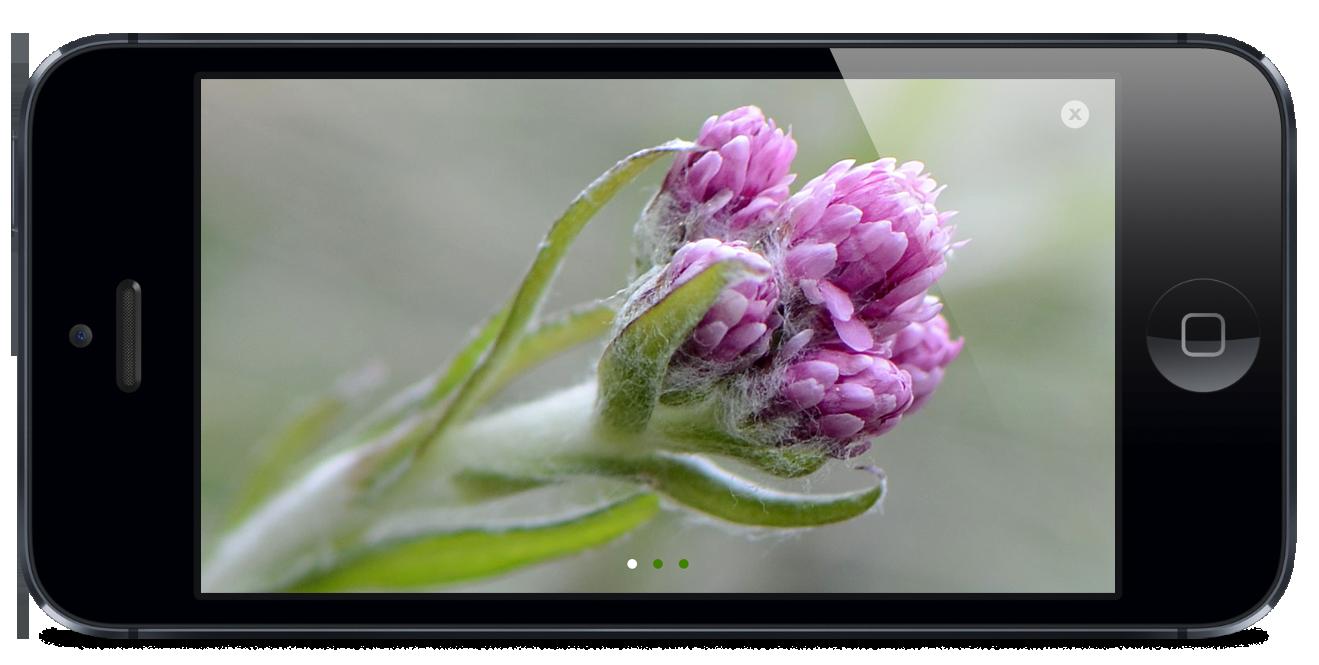 AlpenblumenFinderKatzenpfoetchen